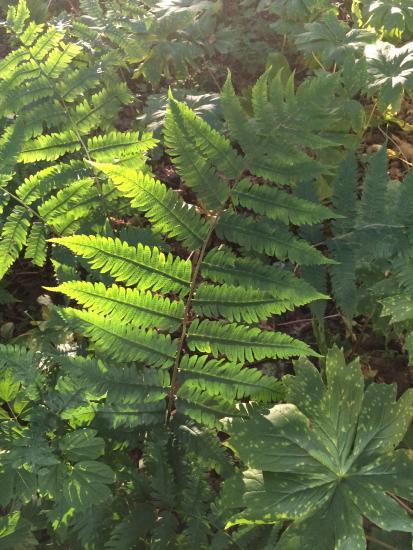 Goldie's fern backlit.