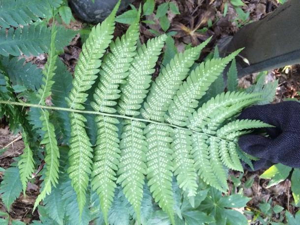 Sori of Goldie's fern