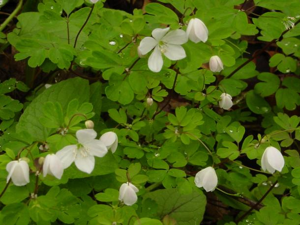 False rue anemone, found wild in far western NYS, has deeper lobes than the more common Thalctrum thalictroides.