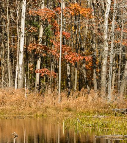 Autumn Oak Among Birches, Hector, NY 10/2012