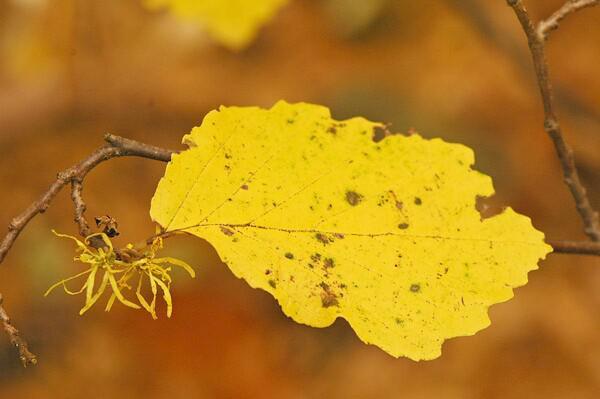 Hamamelis virginiana in fall