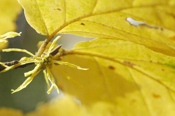Hamamelis virginiana closeup