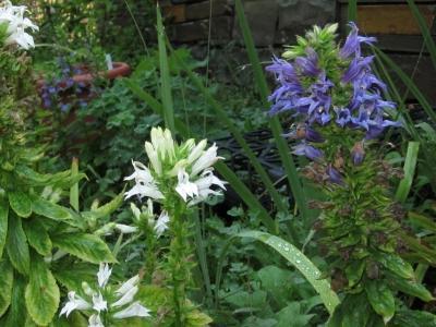 Lobelia siphilitica, white and blue forms