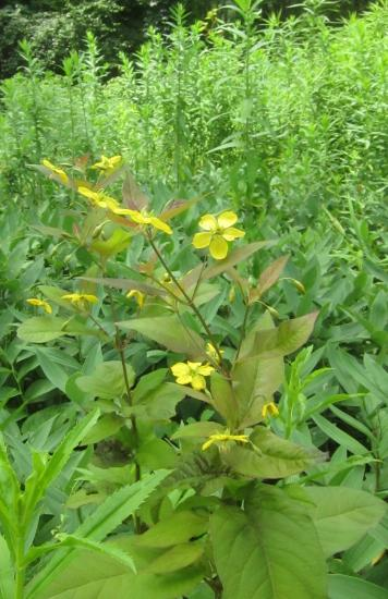 Fringed loosestrife in bloom