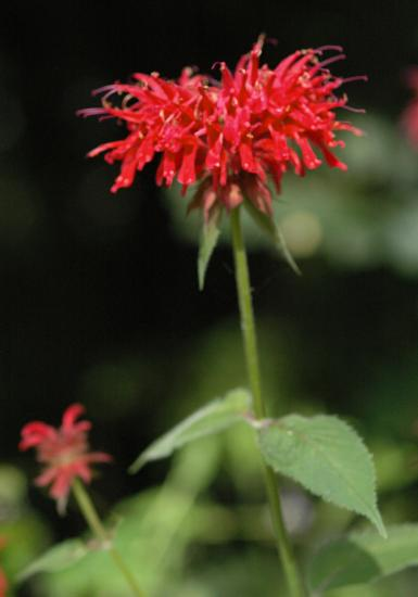 Beebalm is loved by bees, butterflies, and hummingbirds.