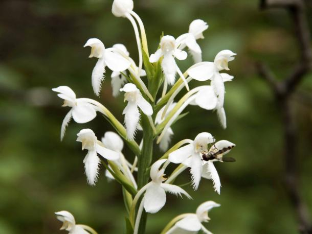 Platanthera blephariglotis flower with pollinator