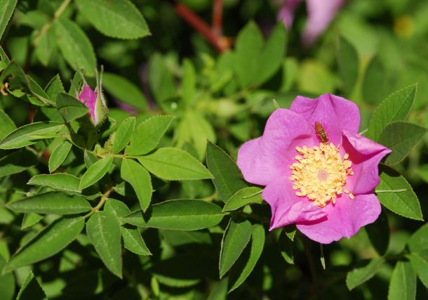 swamp rose is a large, suckering rose for moist to wet locations