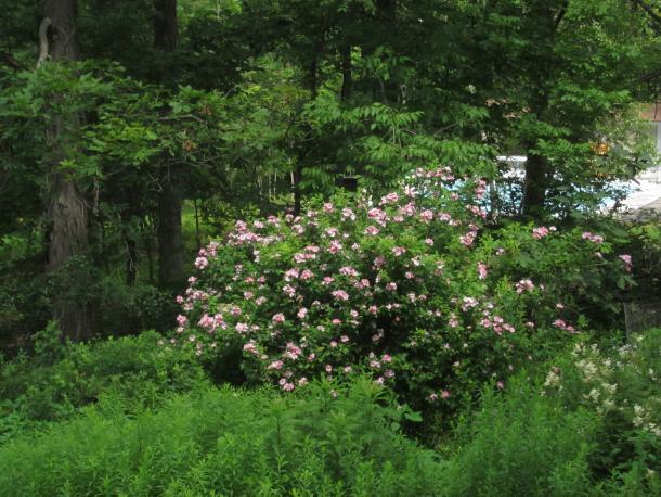 Prairie rose in garden
