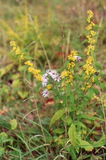 Solidago caesia & Symphyotrichum laeve Ithaca NY