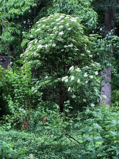 Sambucus canadensis full shrub