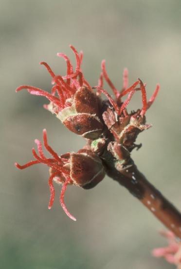 Silver maple female flower