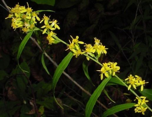 Solidago caesia flower
