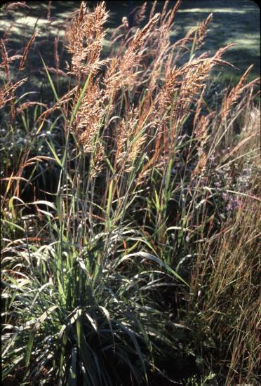 Indian grass seedheads