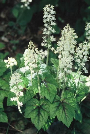 This form of Tiarella cordifolia tends to clump instead of forming stolons, and used be considered a separate species.