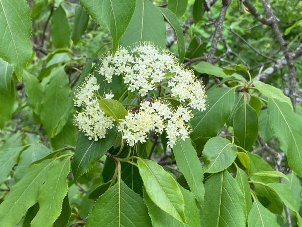 VIburnum lentago flower