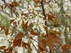 Amelanchier laevis flowers