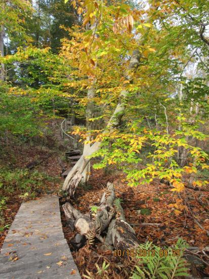 Beech tree along boardwalk in fall