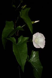 Calystegia sepium, a native morning glory