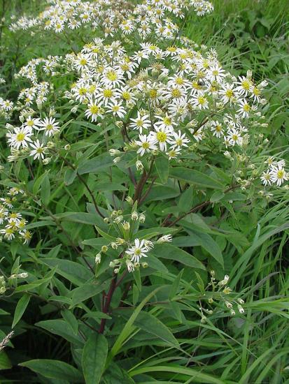 Doellingeria umbellata flower