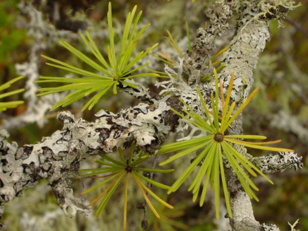 closeup, tamarak larch bristles & lichen