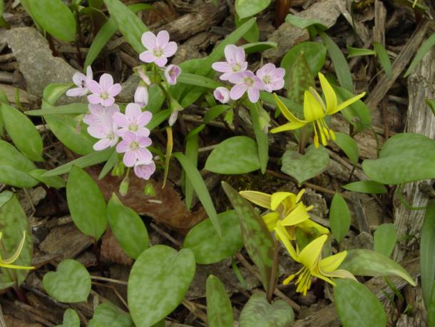 spring beauty and trout-lily