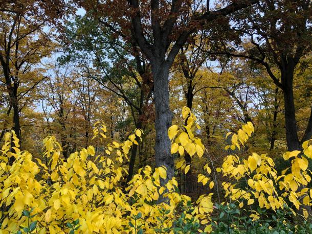 yellow fall color of spicebush