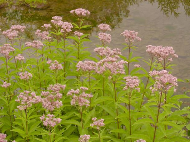 Spotted Joe Pye Weed in Typical Habitat