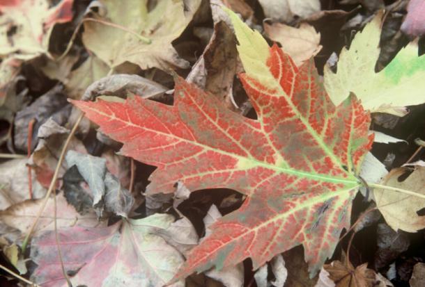Silver maple fall foliage