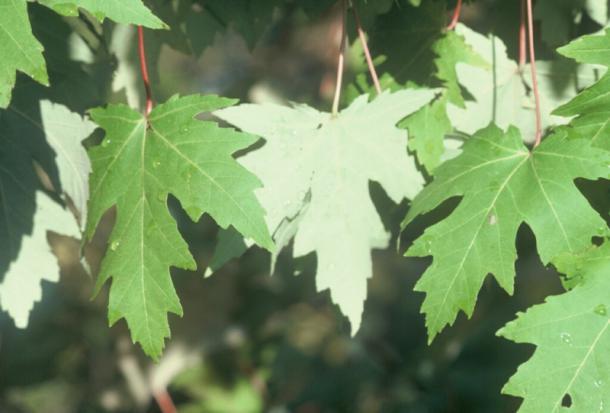 Silver Maple Leaves Flnps