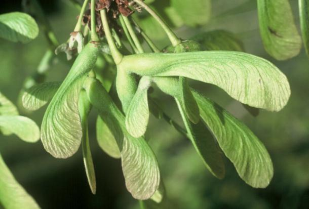 Silver Maple seeds (samara)