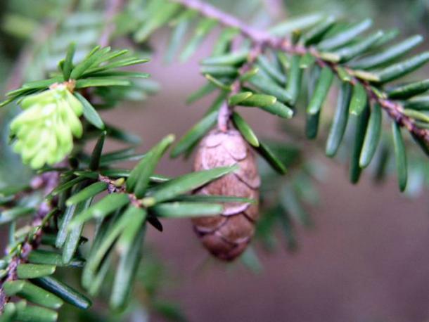 eastern hemlock leaves and cone
