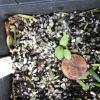 Clematis occidentalis seedlings