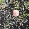 Eragrostis spectabilis seedlings