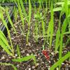 Liatris aspera seedling