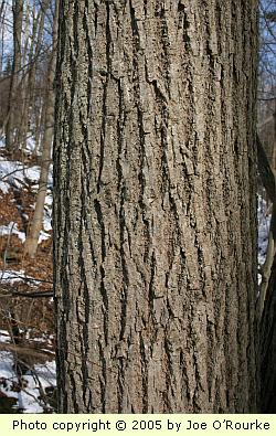 mature Tilia americana bark