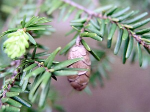 closeup of eastern hemlock leaves and cones