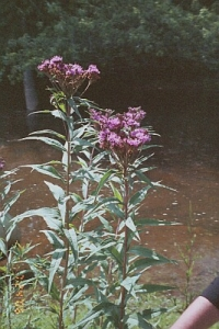 NY ironweed showing height