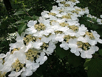 Viburnum lantanoides in flower