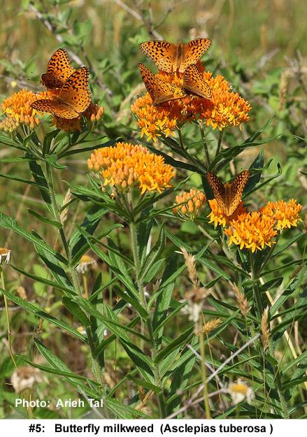 Asclepias tuberosa in flower