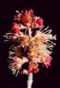 Acer rubrum flower