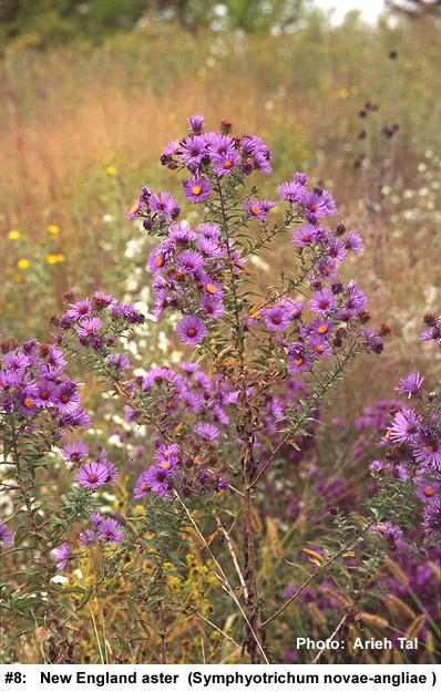 Symphyotrichum novae-angliae in flower