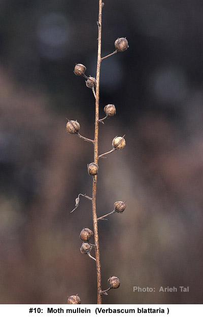 Verbascum blattaria in winter