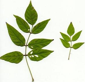 apios americana leaf