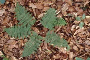 Dryopteris intermedia full plant