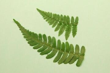 Dryopteris leaves