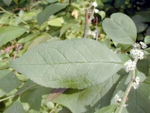 Ilex verticillata leaf