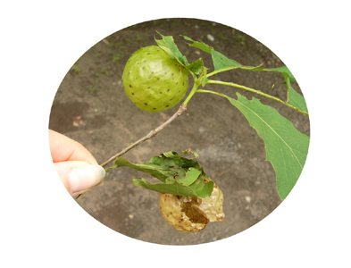closeup of green oak apple gall