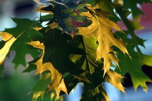 Quercus rubra leaves