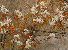 Amelanchier laevis spring foliage