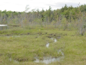 bog habitat of Arethusa bulbosa